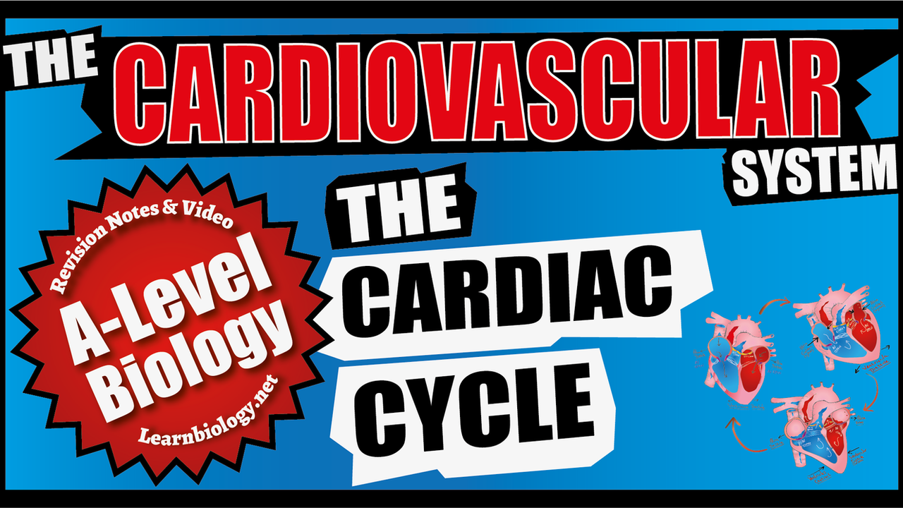 A Level Biology The Cardiac Cycle