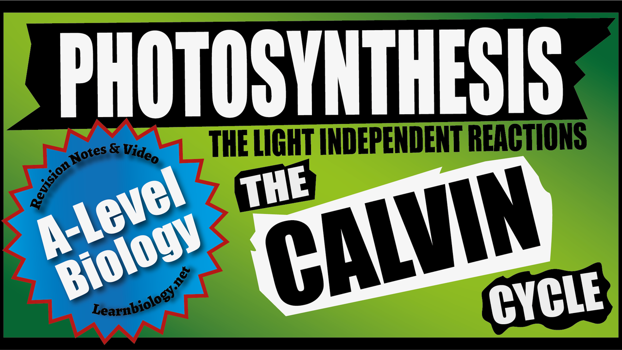 A Level Biology Photosynthesis - The Calvin Cycle The Light independent reactions of photosynthesis