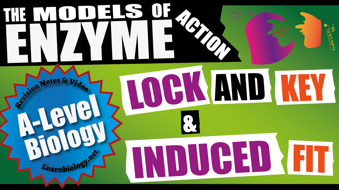 A Level Biology Models of Enzymes Action