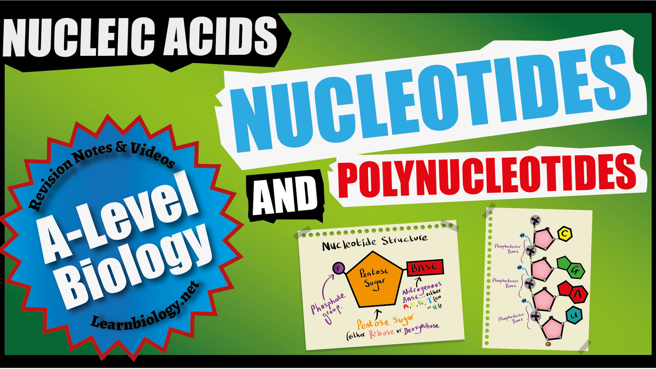 A-Level Biology Nucleic Acids - Nucleotides and Polynucleotides