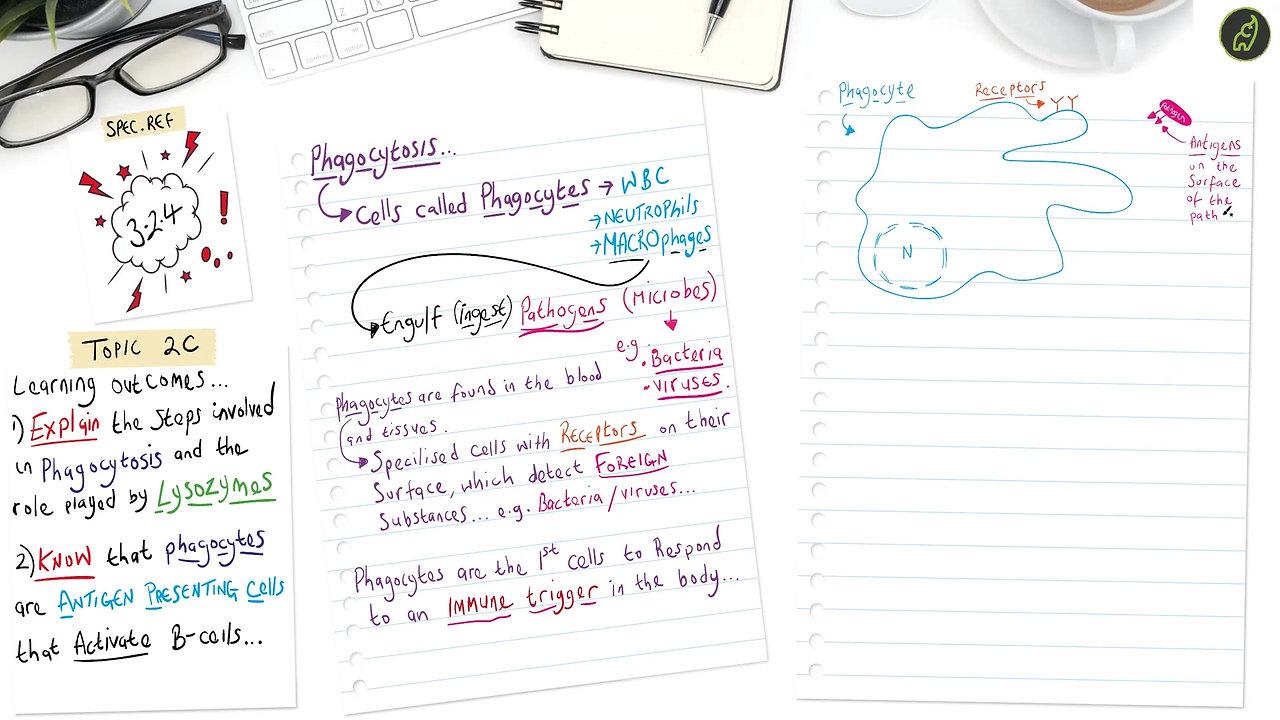 A Level Biology Phagocytosis