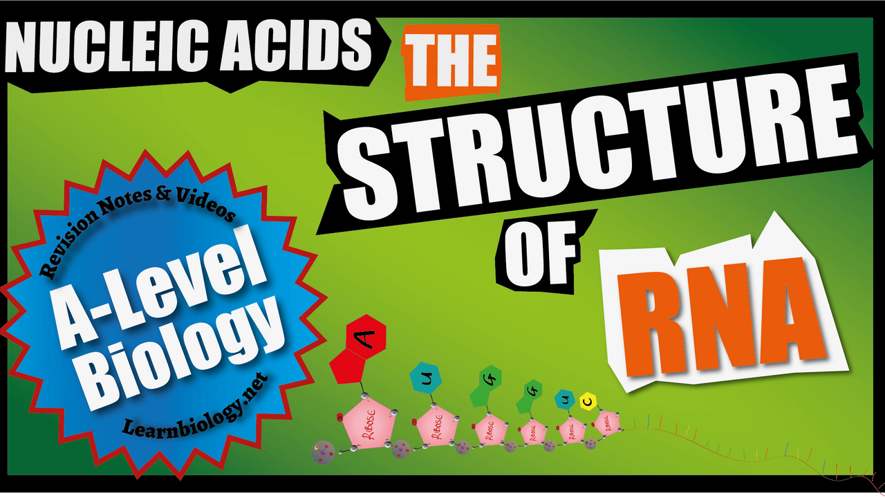 A Level Biology The Structure of RNA