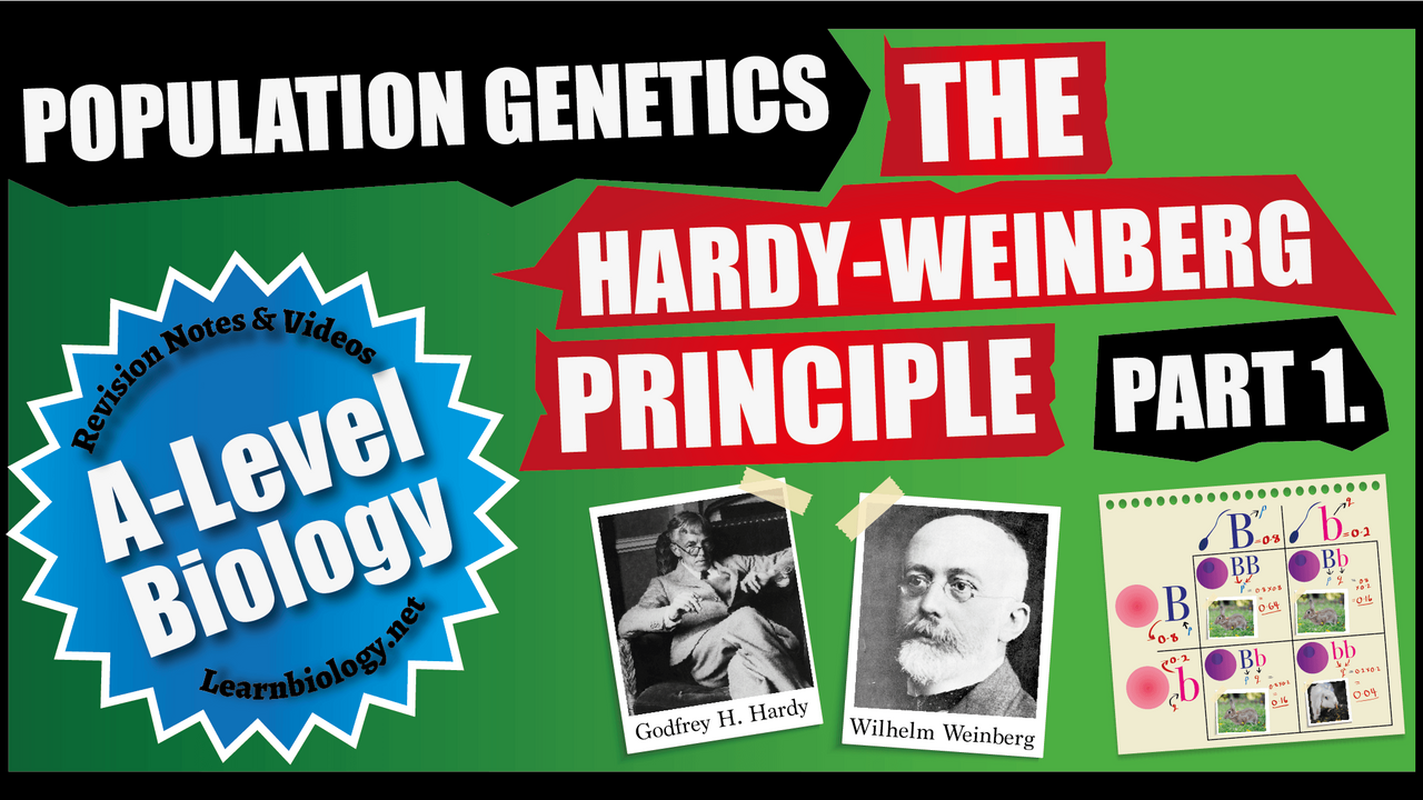 A Level Biology The Hardy-Weinberg Equation Part 1