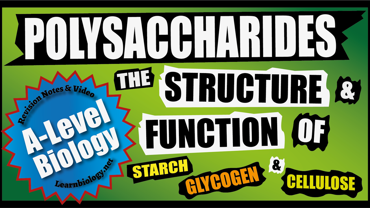 A Level Biology - Polysaccharides, Starch, Glycogen and Cellulose