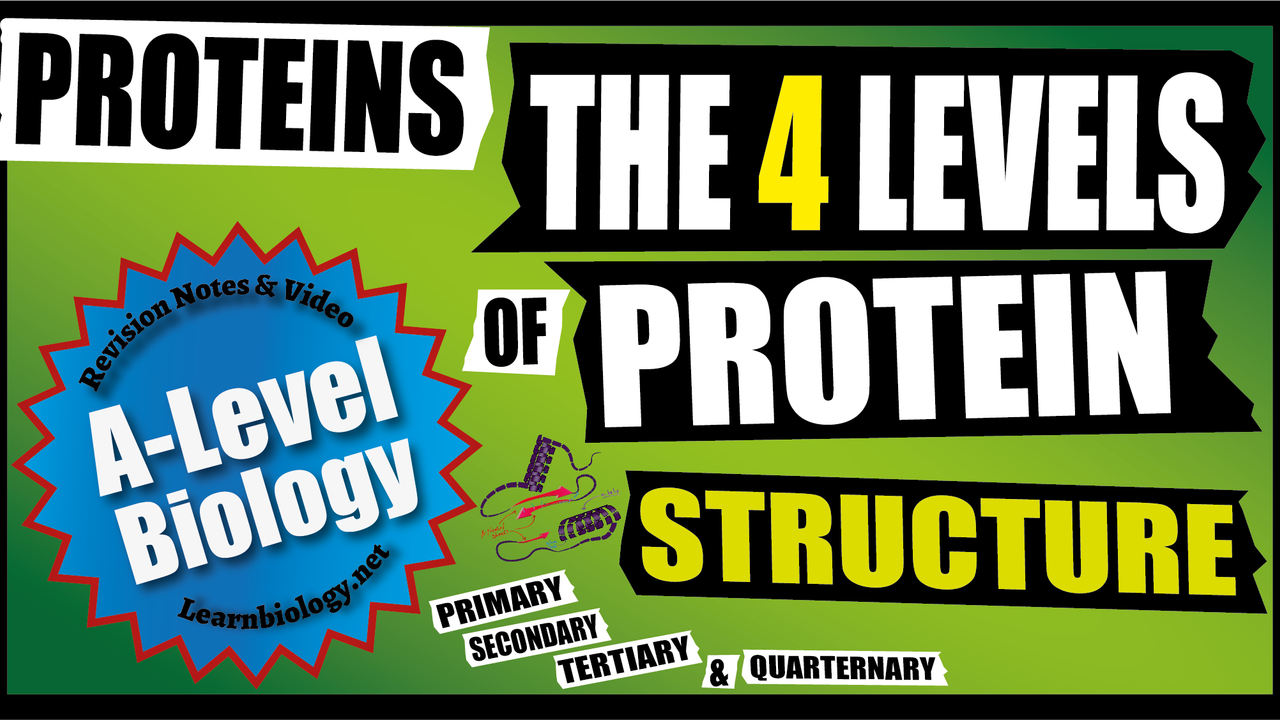 A Level Biology Proteins: The Four Level of Protein Structure