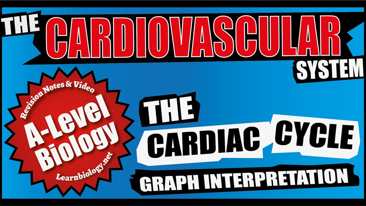 A Level Biology The Cardiac Cycle Graph interpretation