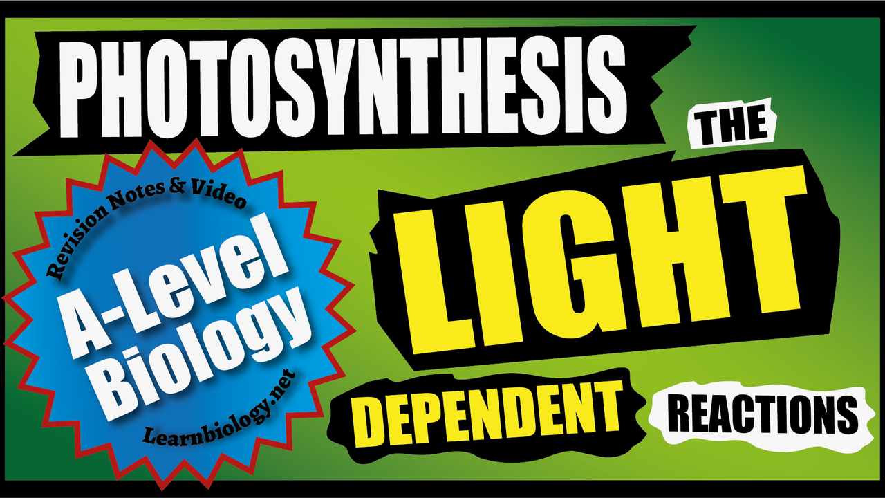 A Level Biology Photosynthesis - The Light Dependent Reactions of Photosynthesis