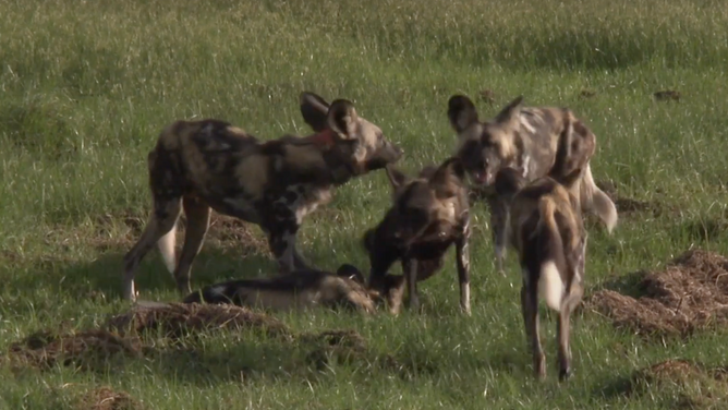 promotional video Painted Dog Conservation