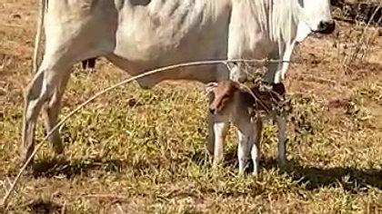 Vaca com bezerro recém nascido