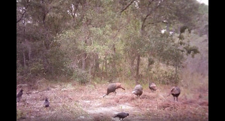 Turkey Cam 1