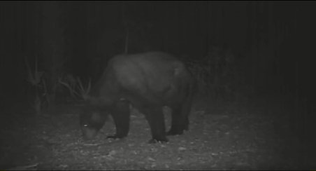 Panacea Wildlife Bear Cam 1