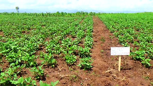 Kesho Congo field in Luvungi (Ruzizi plain)