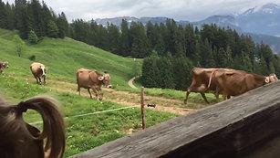 """20 Kühe im """"Gänsemarsch"""""""