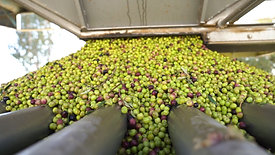 California Olive Ranch Harvest 2019