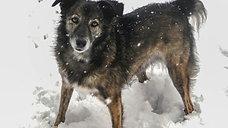 La louve roumaine aux pattes blanches