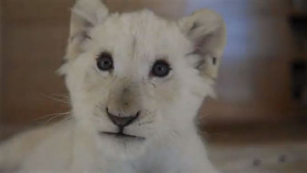 PET LION CUB _ Live in the Heart of South Beach with a Pet Lion