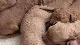 Stella's week old pups