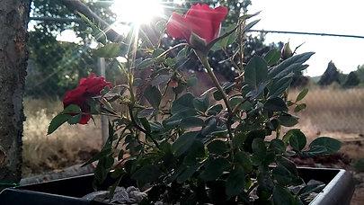 Roses & Sunset