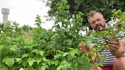 Chestertons | How to prune Raspberries