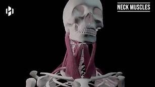 FECO-骨骼肌的舒適圈圈[EN]