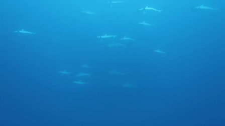 School of Hammerheads at Pinnicals - Moz November trip 2017