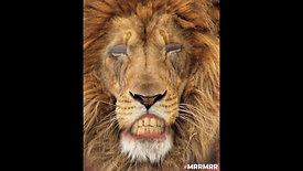 Le vieux Lion du Grand cirque Tavataz
