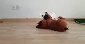 Bulldog Francés México Rudolph 2017