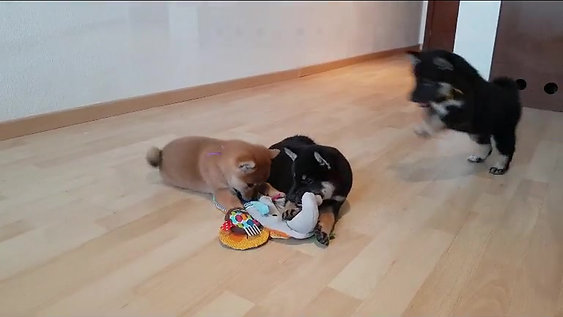 Shiba Inu México Cachorro VDB2017