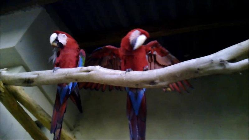 papagayos costablanca