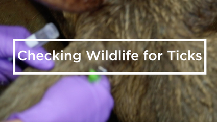 Checking Wildlife for Ticks