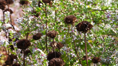 Late Asters and Native Bees