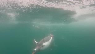Penguins: Aquatic Torpedos