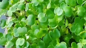 How Quickly Do Microgreens Grow
