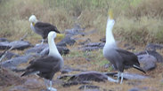 Waved Albatross Mating Dance Galapagos Islands