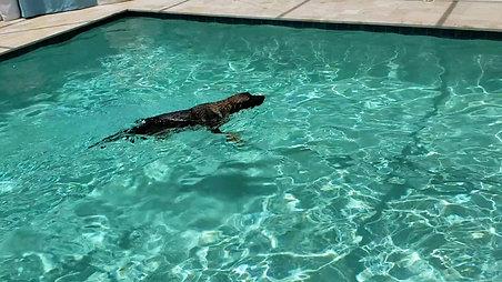 Hippo swimming