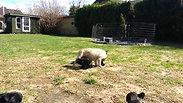 Agnes puppies 2013