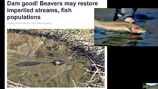 How Beaver Dams Affect Fish Movement?