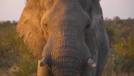 Elephant Immunocontraceptive
