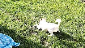Fox Terrier loves to dance