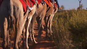 Uluru Camels & Sunset