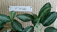 Chinese Evergreen Tropical in Ceramic Planter