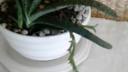 Sansevieria and Gasteria Succulent Bowl
