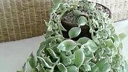 Variegated Trailing Succulent in Terra Cotta