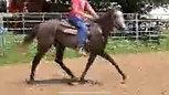 Tally Ho Irish Storm - 20 days under saddle
