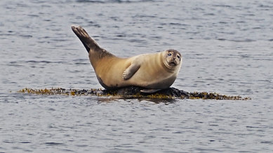 Kayak jugant amb foques