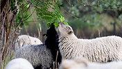 Im Einsatz für die Berliner Stadtkultur - Schafe am HKW Klingenberg