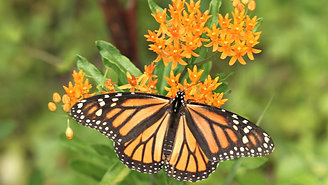 Conserving Monarchs: Opportunities on Corridors in Canada