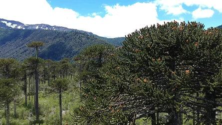 Conguillio National Park, Patagonia. Chile