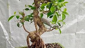 Golden Gate Ficus (Ficus microcarpa)