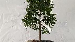 Australian Bush Cherry (Eugenia myrtifolia)